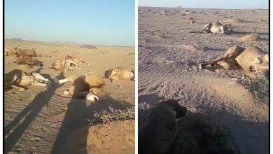 Photo of بيان تنديد حول إبادة قطعان إبل الصحراويين من طرف الإحتلال المغربي